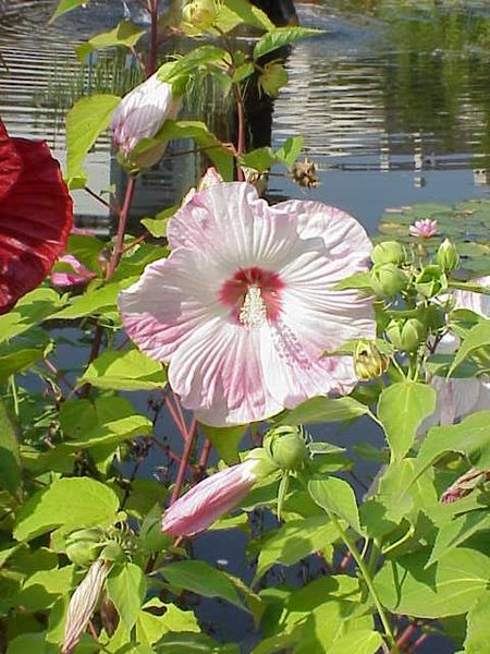 hibiscus moscheutos flower seeds common rose mallow. Black Bedroom Furniture Sets. Home Design Ideas
