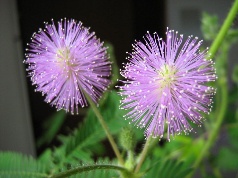 mimosa pudica flower seeds sensitive plant shameplant shy plant humble plant sleeping. Black Bedroom Furniture Sets. Home Design Ideas
