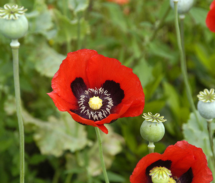 papaver somniferum opium - photo #13