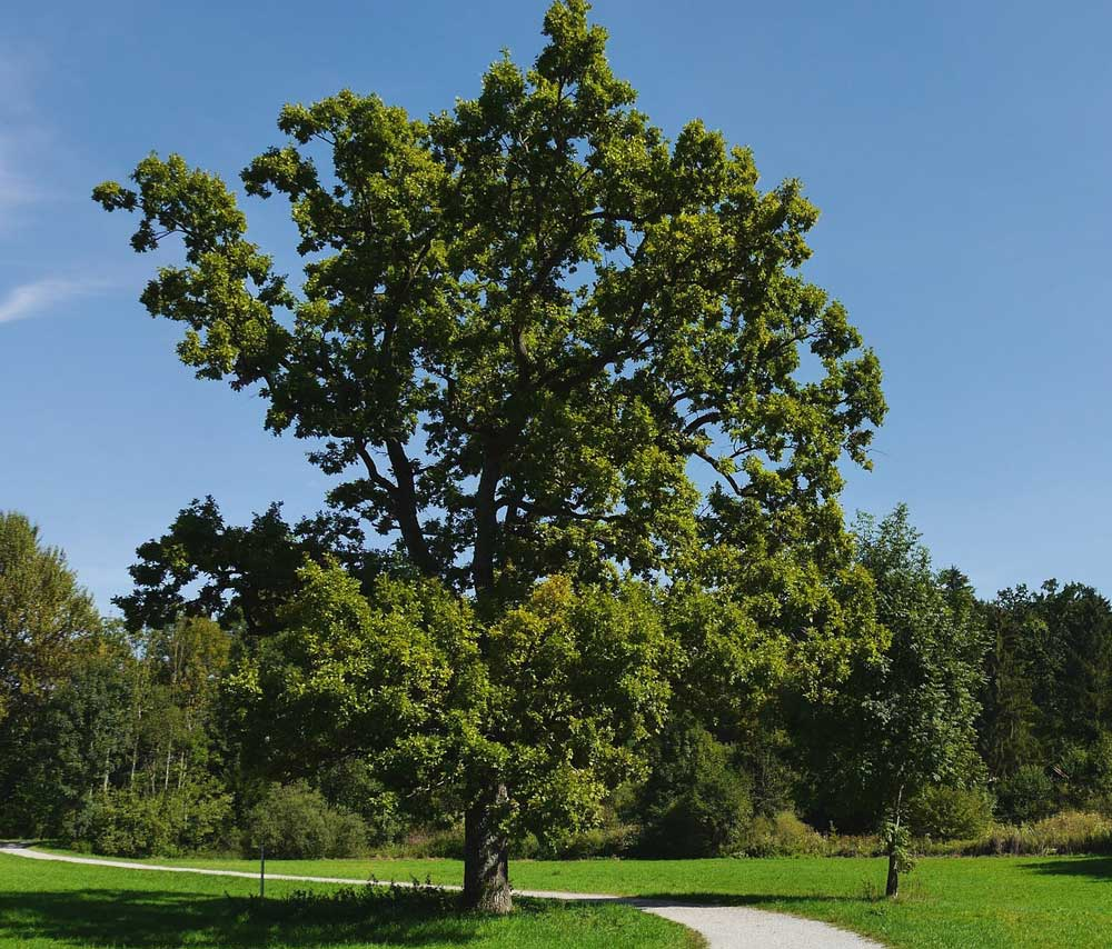 how to grow an oak tree from seed