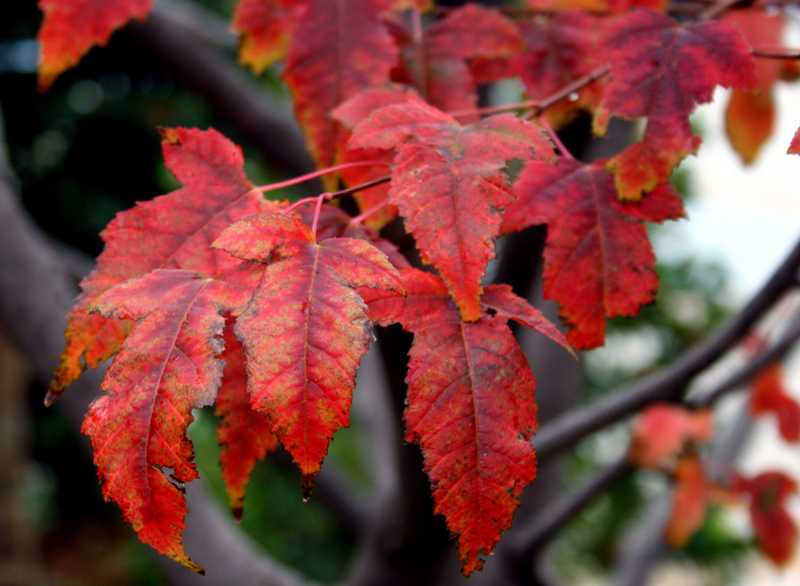 Acer Tataricum Ginnala Flame Tree Seeds Flame Amur Maple