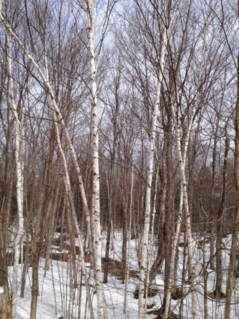 white paper birch tree for sale Birch trees losing ground people love their chalky white birch trees paper birch, white birch, canoe birch (betula papyrifera.
