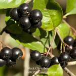 ARONIA melanocarpa       Black Chokeberry, Black-seeded Chokeberry