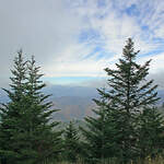 Abies fraseri    NC, Roan Mt.   Fraser Fir, Fraser's Fir