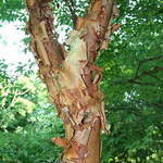 Acer griseum     dewinged  Paperbark Maple