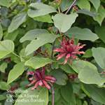 Calycanthus floridus       Eastern Sweetshrub, Carolina Allspice, Common Sweetshrub