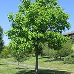 Catalpa speciosa       Northern Catalpa, Western Catalpa, Northern Cigar Tree, Catawba Tree, Hardy Catalpa