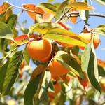 Diospyros virginiana       Common Persimmon