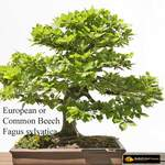 Fagus sylvatica       European Beech