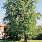 Gleditsia triacanthos   Inermis    Thornless Honey Locust