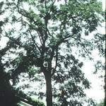 Gymnocladus dioicus       Kentucky Coffeetree, Kentucky Coffee Tree