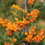 Hippophae rhamnoides       Sea Buckthorn, Seaberry