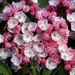 Kalmia latifolia       Mountain Laurel, Spoonwood