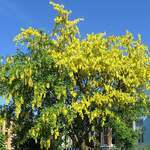 Laburnum anagyroides       Golden Chain Tree, Golden Rain Tree, Laburnum