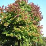 Liquidambar styraciflua    Northern   Sweetgum, Redgum, Sapgum