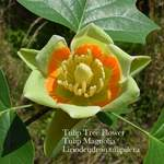 Liriodendron tulipifera     dewinged  Whitewood, Tuliptree, Tulip Poplar, Yellow Poplar, American Tulip Tree, Tulip Magnolia