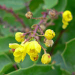 Mahonia repens       Creeping Oregon Grape, Creeping Barberry