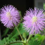 Mimosa pudica       Shameplant, Sensitive Plant, Shy Plant, Humble Plant, Sleeping Grass, Touch-Me-Not, Lajjalu, Bashful Mimosa