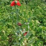 Papaver somniferum       Opium Poppy