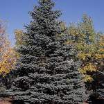 Picea pungens  glauca Majestic    Majestic Blue Spruce