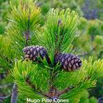 Pinus mugo  mughus     Mugo Pine, Mugo Pine Tree, Mountain Pine