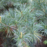 Pinus parviflora       Japanese White Pine, Five-needle Pine, Japanese Five Needle Pine