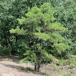 Pinus rigida       Pitch Pine, Picky Pine