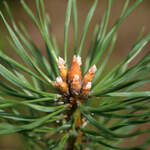 Pinus sylvestris    England, East Anglia   Scotch Pine, Scots Pine