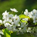 Prunus avium   Alkavo    Alkavo CVI Mazzard Cherry, Certified Virus Indexed Mazzard Cherry