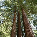 Sequoia sempervirens       Redwood, Coast Redwood, California Redwood