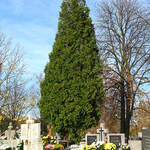 Thuja occidentalis   Pyramidalis    Pyramidal American Arborvitae
