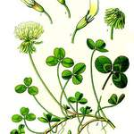 Trifolium repens       White Clover, Irish Shamrock, True Irish Shamrock, Dutch Clover