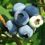Vaccinium corymbosum       Highbush Blueberry