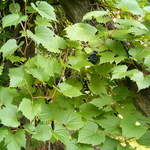 Vitis riparia       Riverbank Grape