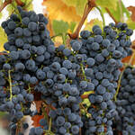 Vitis vinifera       Wine Grape, Domestic Grape, Grape-vine, Cultivated Grape