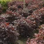 ACER palmatum matsumurae  Bloodgood  dry seed  Bloodgood Japanese Maple