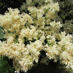Syringa reticulata       Japanese Tree Lilac