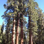 Sequoiadendron giganteum       Giant Sequoia, Bigtree, Sierra Redwood, Wellingtonia, Sierran Redwood
