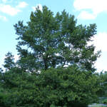 Quercus acutissima       Sawtooth Oak