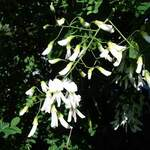 Cladrastis lutea       Yellowwood, Kentucky Yellowwood, Yellow Ash, American Yellowwood, Virgilia