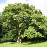Paulownia tomentosa       Empress Tree, Princesstree