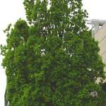 Quercus robur   Fastigiata    English Upright Oak, Upright English Oak