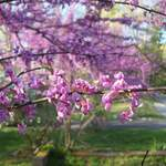 Cercis canadensis    Northern  Zone 5   Eastern Redbud, Redbud, Northern Zone 5 Eastern Redbud