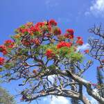 Delonix regia       Royal Poinciana, Flame Tree