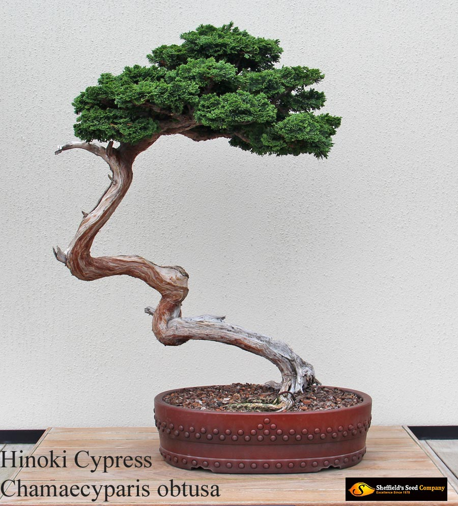Bonsai Seeds At Sheffield S Seeds For Sale Tree Seeds Shrub Seeds Flower Seeds Vine Seeds Herb Seeds Grass Seeds Vegetable Seeds