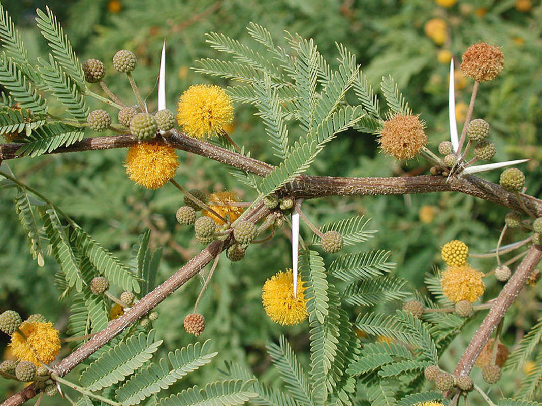 Acacia farnesiana - Tree