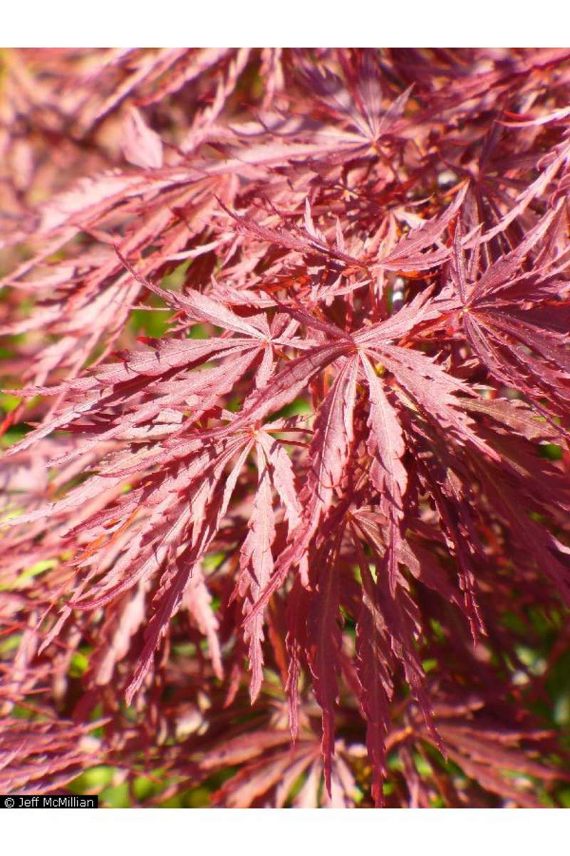 acer palmatum matsumurae tamukeyama tree tamukeyama japanese maple seeds for sale tree. Black Bedroom Furniture Sets. Home Design Ideas
