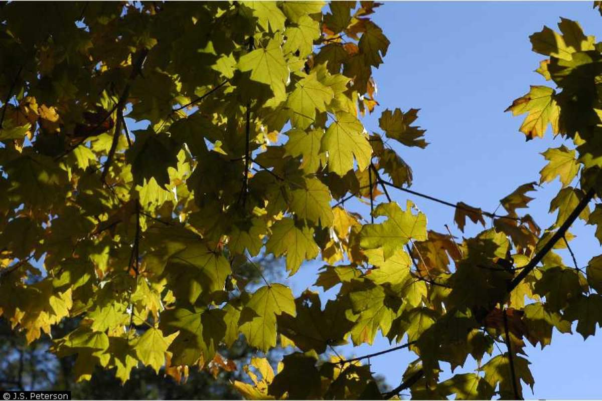 how to grow sugar maple from seed