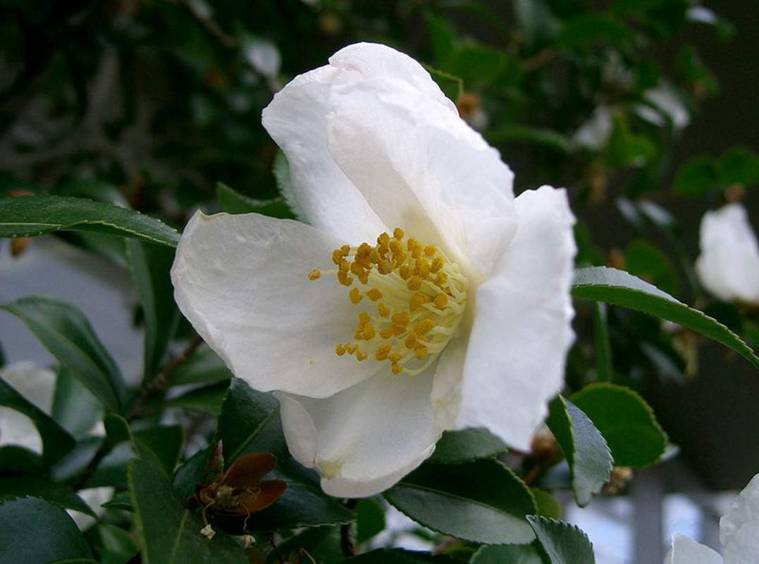 Camellia sasanqua shrub and vine seeds sasanqua for Camelia sasanqua