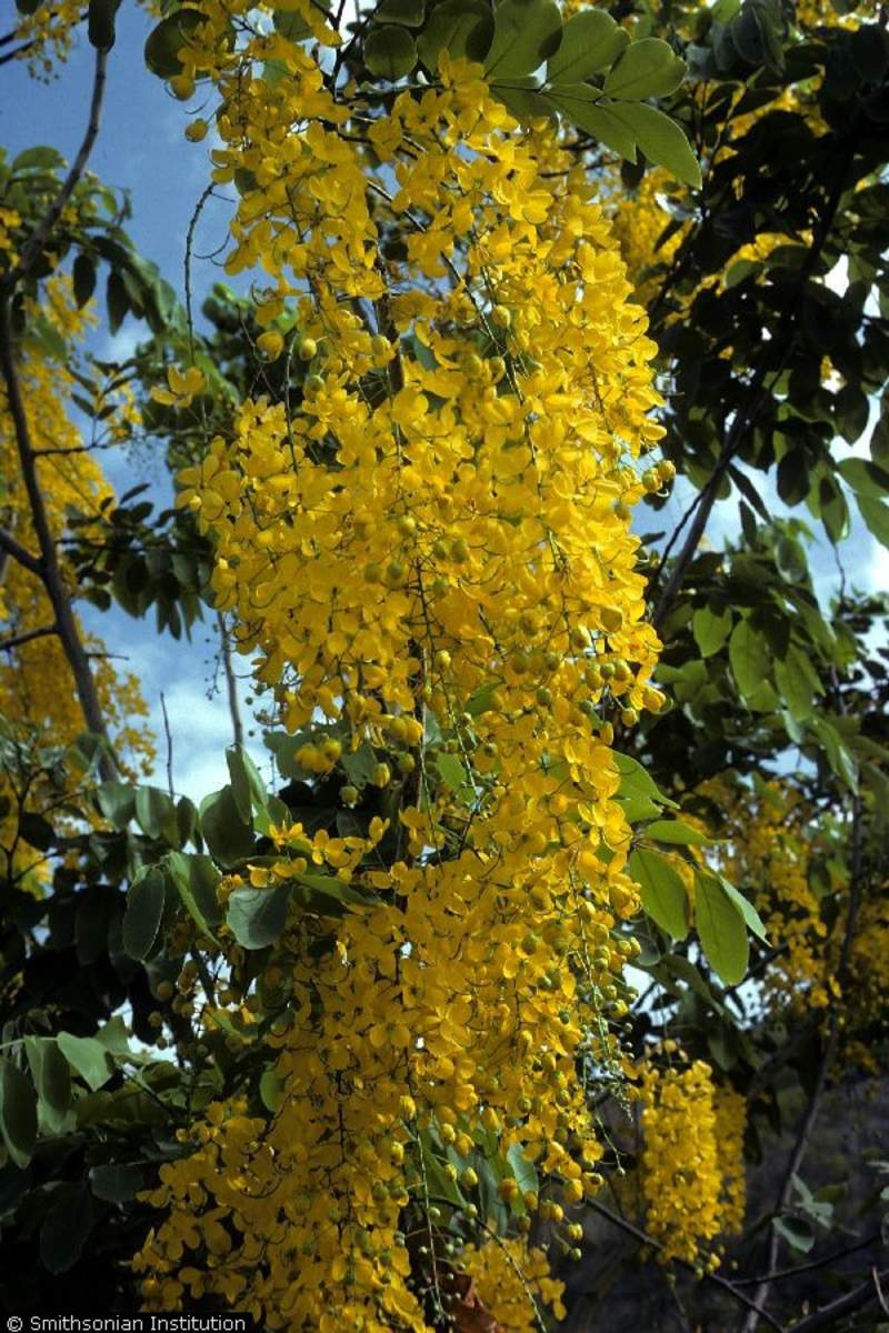 Cassia Fistula Tree Golden Shower Seeds For Sale